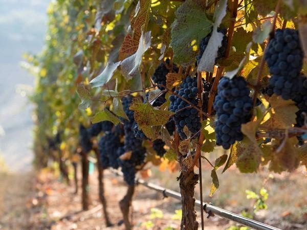 Pinot Noir grapes growing at Naumes Family Vineyards